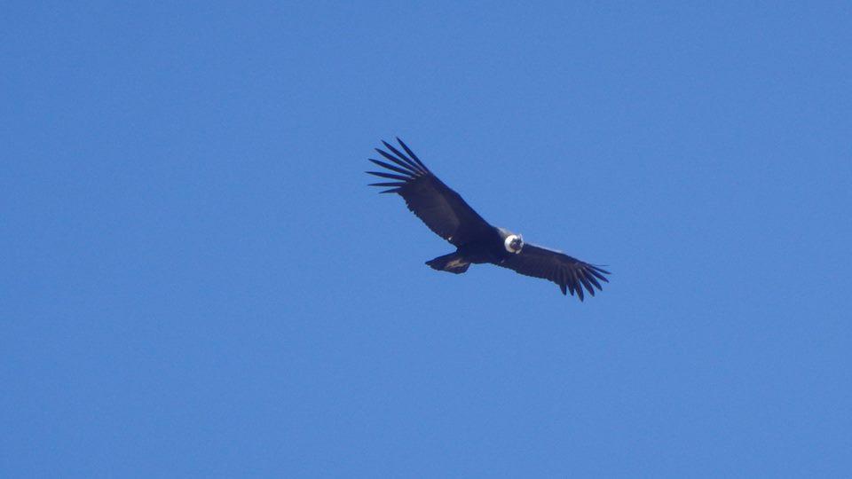 close up condor