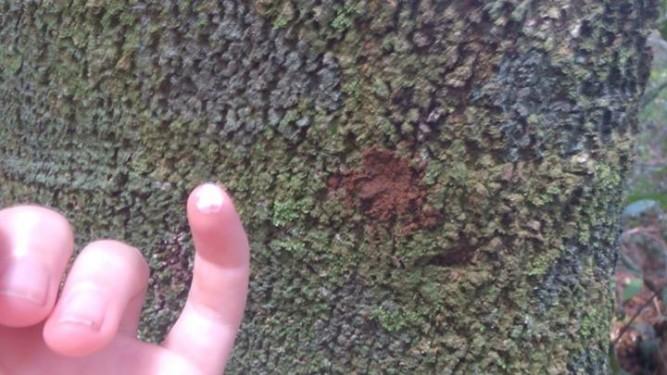Medicinal tree