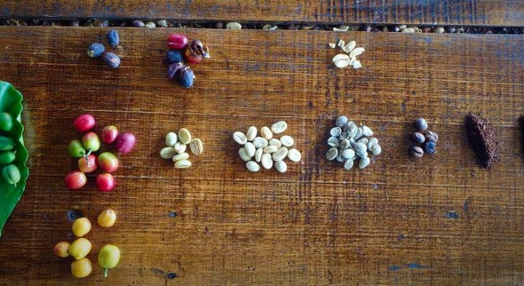 Various stages of coffee production