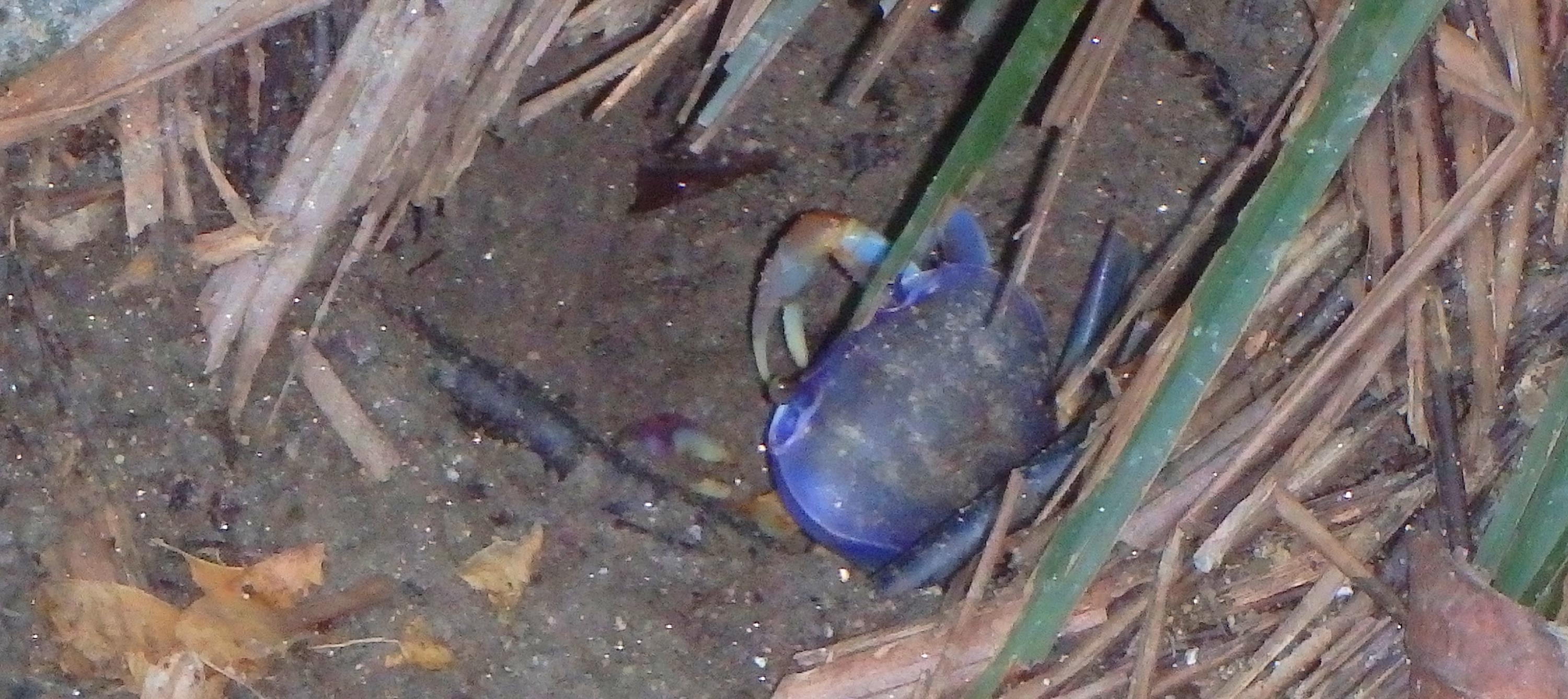Tayrona national park - crab