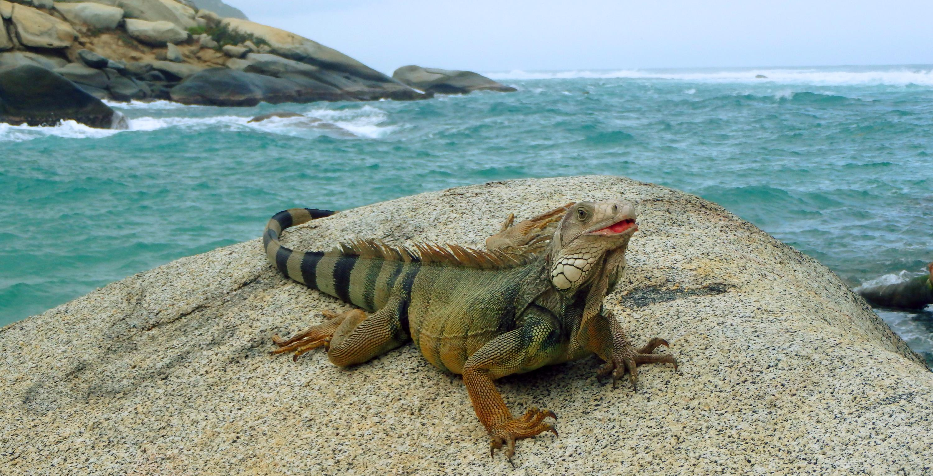 Iguana, Tayrona National Park